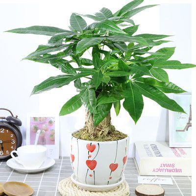 发财树盆栽花卉绿植招财摇钱树苗盆景客厅办公室内外绿色植物包邮