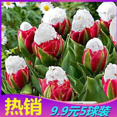 热销【耐寒-20度】冬季郁金香种球花种子盆栽庭院花卉植物易种活
