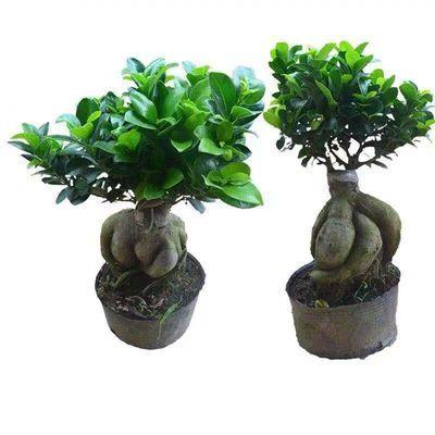 发财树摇钱树盆栽绿植室内花卉小盆景办公室桌面绿色植物金钱树