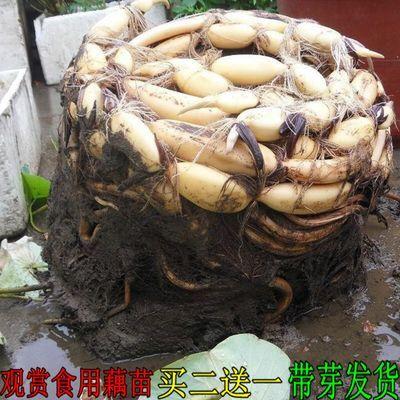 -种根苗观赏荷花苗莲花苗池塘中大型荷花种藕盆栽食用莲藕种子荷