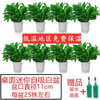除甲醛大绿萝60株长藤品种懒人自动吸水盆净化空气绿植吸盆栽水培