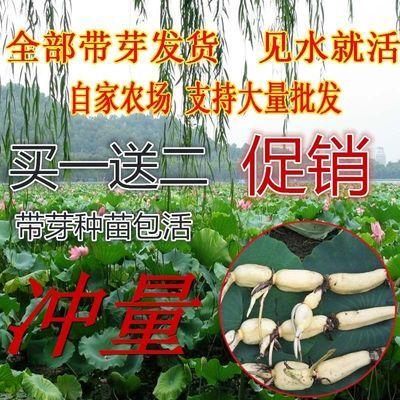 荷花藕种子带芽种藕 池塘莲藕种苗 水培植物根苗买1送1 多买多送
