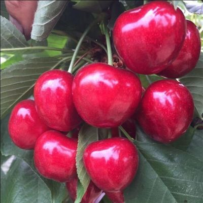 山东大樱桃当季新鲜车厘子水果现摘现发孕妇美早红灯3斤包邮
