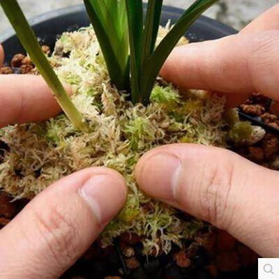 培盆栽植物干苔藓介质专用土营养肥料多肉植料水苔兰花蝴蝶兰栽