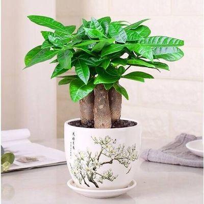 【2盆送喷壶 】发财树盆栽客厅花卉绿植室内招财植物办公室小盆景
