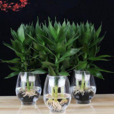 观音竹富贵竹水养玻璃花瓶水培荷花盆栽植物室内客厅绿植花卉四季