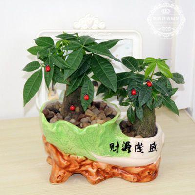 包邮 2颗发财树含【大号陶瓷花盆】发财树盆栽绿植盆栽花卉绿萝【