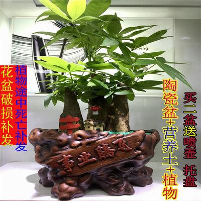 发财树盆栽室内绿植办公室盆栽转运竹绿色植物罗汉松盆景陶瓷花盆