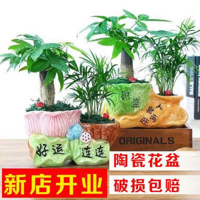 发财树盆栽客厅花卉绿植室内招财绿色植物办公室小盆景吸甲醛植物