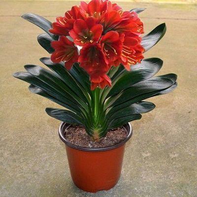 【包成活】君子兰盆栽四季开花绿植室内花卉君子兰苗当年开花好养