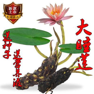 送一】超大睡莲根块荷花种子盆栽水培植物水生根块四季开花【买一