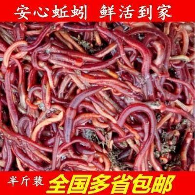 红蚯蚓散装包邮活体1斤饵料鱼饵种苗钓鱼特大号大平二号包活野钓
