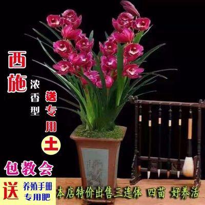 【只限今天500件】浓香型兰花花卉盆栽室内绿植花卉盆栽墨兰建兰