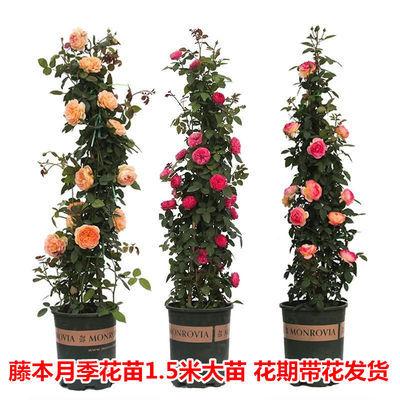 欧洲月季花苗欧月藤本月季大花蔷薇四季开花阳台观花盆栽绿植花卉