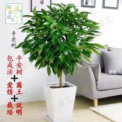 特价平安树盆栽室内客厅绿植花卉幸福树配送净化空气吸甲醛