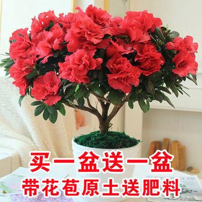 杜鹃花盆栽植物室内带花四季好养常年开花的盆栽花观花植物花卉