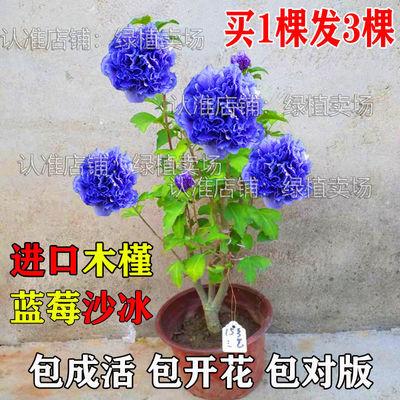买一送二多花大花重瓣木槿花苗阳台庭院耐寒花卉植物盆栽芙蓉扶桑