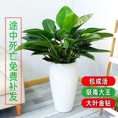 绿公主大叶金钻四季常青吸甲醛花苗大型绿植盆栽室内高档盆景花卉