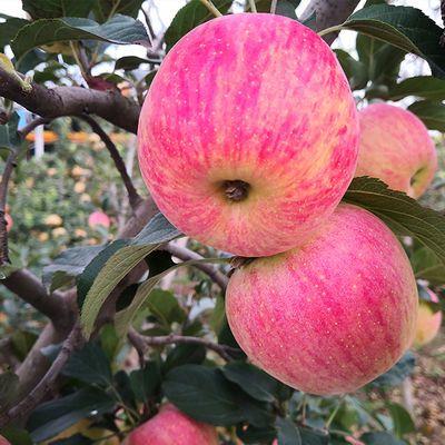 烟台苹果水果新鲜山东栖霞红富士冰糖心5斤甜心苹果10斤装整箱
