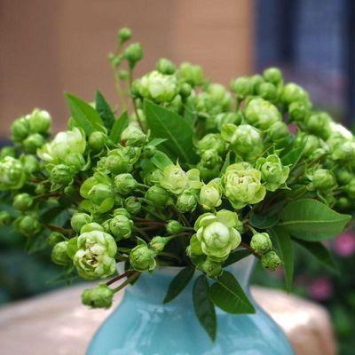 灌木精选欧月果汁阳台 朱丽叶盆栽玫瑰月季花苗大花浓香花卉四季