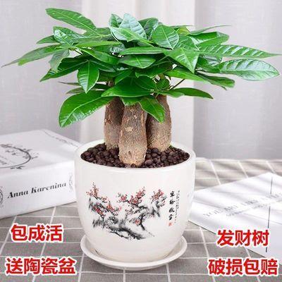 发财树盆栽室内客厅桌面绿植小盆景大发财树苗招财树吸甲醛植物