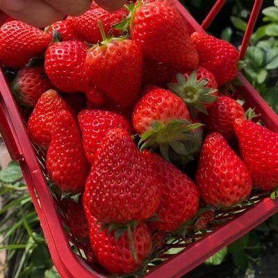 2斤【现摘现发】新鲜奶油大草莓水果一箱牛奶草莓当季现摘