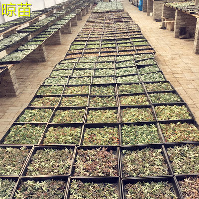 多肉植物砍头苗无根每套60棵20-30个品种冠幅3-5cm发根快送礼自用