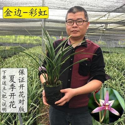 金边四季兰花苗夏季带花苞发货建兰好养室内外阳台花卉盆栽绿植物
