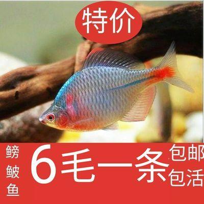 ��鱼活体鱼缸观赏鱼淡水冷水鱼苗好养金鱼除藻鱼清洁鱼清道夫鱼