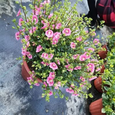 【2盆装特价商品】小木槿盆栽微草莓基地低价处理阳台庭院开花