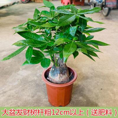 爆款发财树盆栽大棵摇钱树客厅花卉吸甲醛绿植室内招财绿色植物小