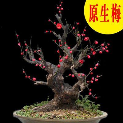 爆款大树龄红梅梅花老桩盆景盆栽精品造型树苗庭院室内四季花卉