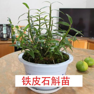 正宗霍山石斛苗铁皮石斛苗盆栽可食用绿植物室内阳台多肉花卉兰花