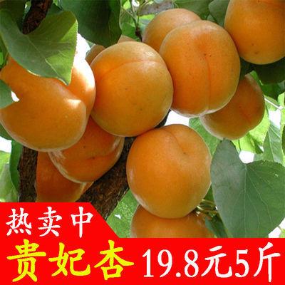 现摘现发新鲜水果杏子大黄杏孕妇水果5斤3斤装酸甜可口应季水果