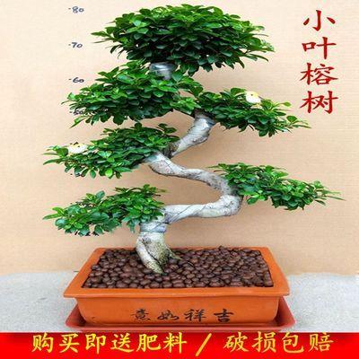 爆款大型小叶榕树S造型盆景盆栽室内绿植台湾气根客厅植物人参榕