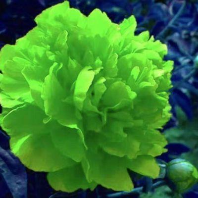 多年生芍药根块带芽大花浓香绿植花卉盆栽庭院室内四季开花苗牡丹