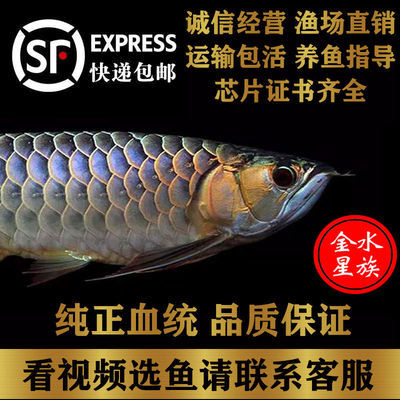纯种24K蓝底B级过背金龙古典蓝底高背金龙鱼红龙鱼活体鱼苗热带鱼