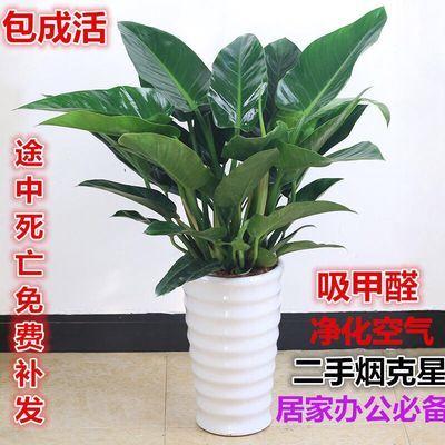 金钻四季常青吸甲醛植物花苗大型绿植盆栽室内高档盆景花卉