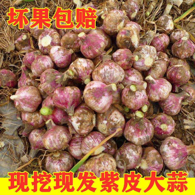 20年新蒜5斤大蒜头农家紫白皮大蒜湿香蒜非干独蒜蒜薹苔坏果包赔