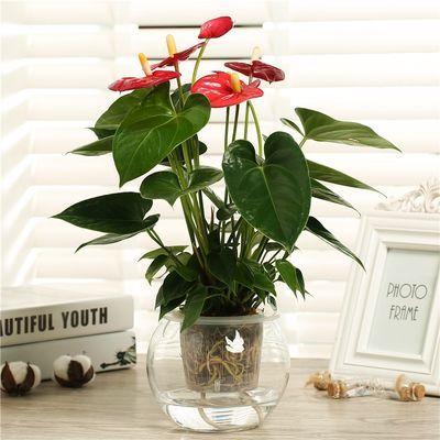 【带花发货】盆栽花卉红掌花室内水培花卉盆栽植物花苗盆景绿植