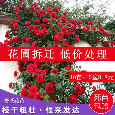 30棵四季开花蔷薇花苗室内外爬藤绿植物藤本月季玫瑰花苗盆栽花卉
