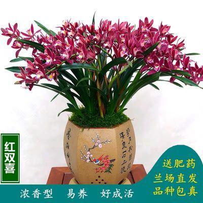 正品兰花浓香型建兰墨兰春兰蕙兰苗盆栽室内植物名贵绿植当年开花