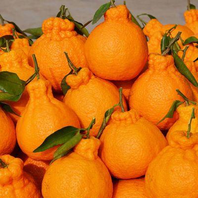 【精品】四川不知火丑橘丑八怪丑桔丑柑高山橘子新鲜水果批发包邮