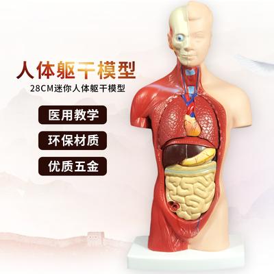 人体模型解剖心脏模型大脑人体结构模型医学器官躯干教学内脏模特