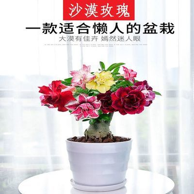 重瓣沙漠玫瑰花苗盆栽四季开花不断老桩室内阳台植物庭院嫁接花卉