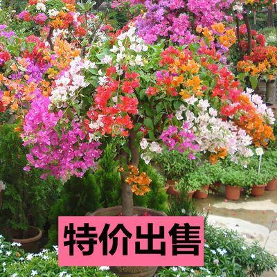 【买二棵送一棵】三角梅花苗盆栽地栽花卉四季开花盆栽花苗爬藤花