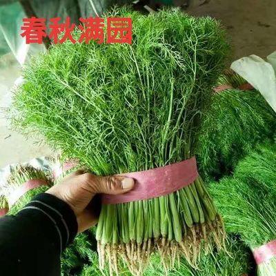 割茬小茴香种子 茴香种子 谷香佐料四季播种 蔬菜阳台盆栽种子