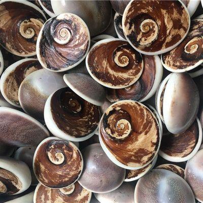 天然海螺化石马达加斯加深海海螺盖化石随机发货不挑货无磕碰损伤