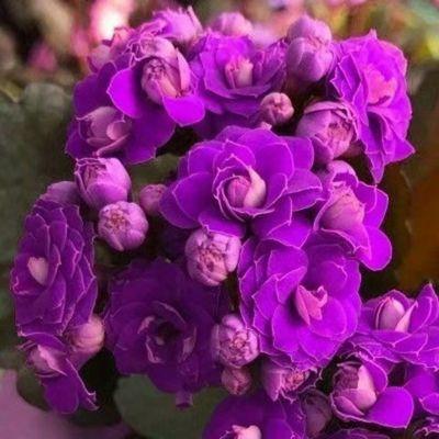 【带花苞发货】长寿花 长寿花盆栽 四季开花  桌摆盆栽花卉 绿植!