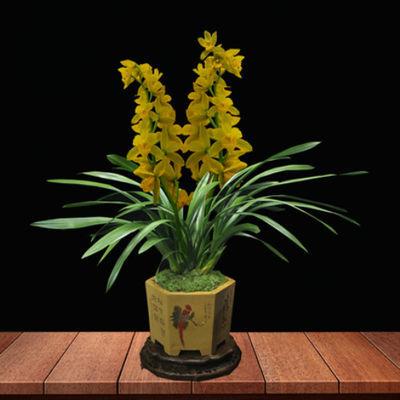 [只限今天500件]浓香型兰花花卉室内绿植花卉盆栽墨兰建兰蕙兰